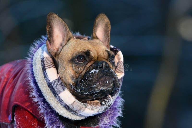 Cão de Fawn French Bulldog com lenço e casaco de pele do inverno com neve no focinho fotografia de stock royalty free