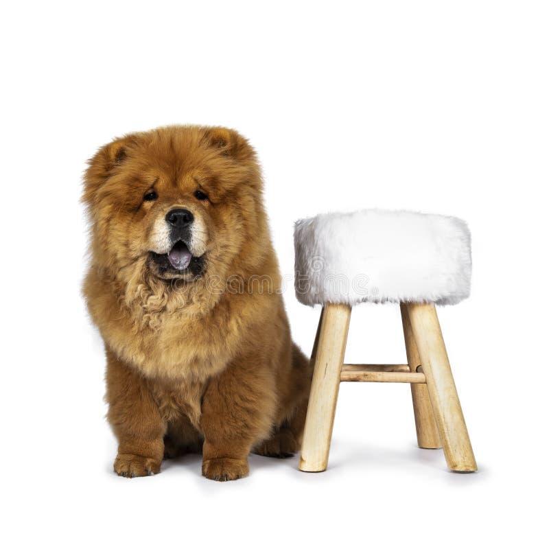 Cão de filhote de cachorro macio bonito de Chow Chow, isolado em um fundo branco fotos de stock