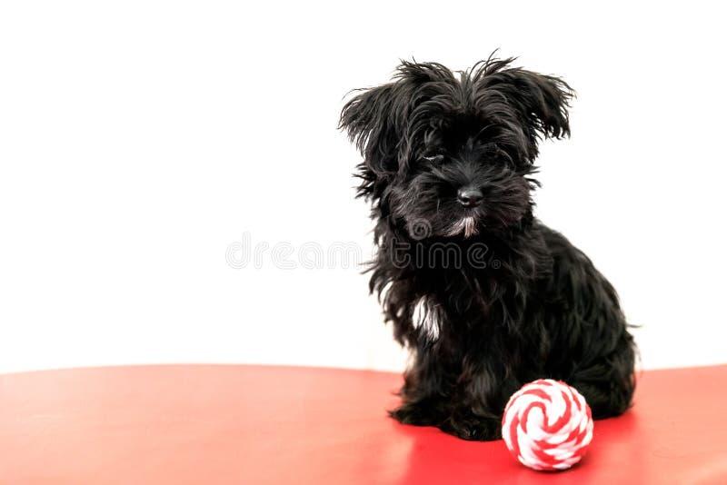 Cão de filhote de cachorro maltês imagens de stock