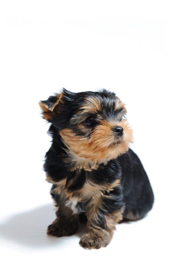 Cão de filhote de cachorro bonito bonito do terrier de Yorkshire fotos de stock