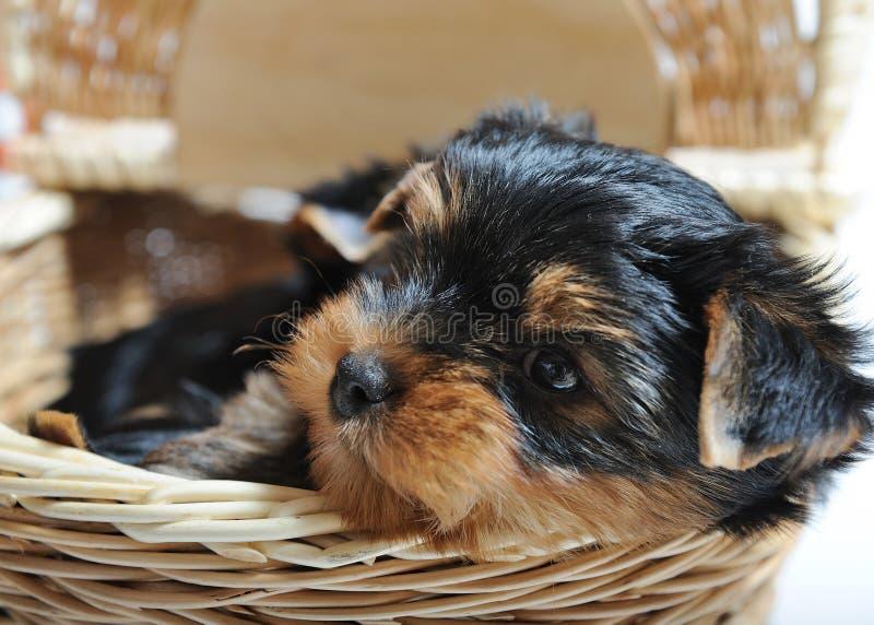 Cão de filhote de cachorro bonito do terrier de Yorkshire que senta-se em uma caixa fotos de stock