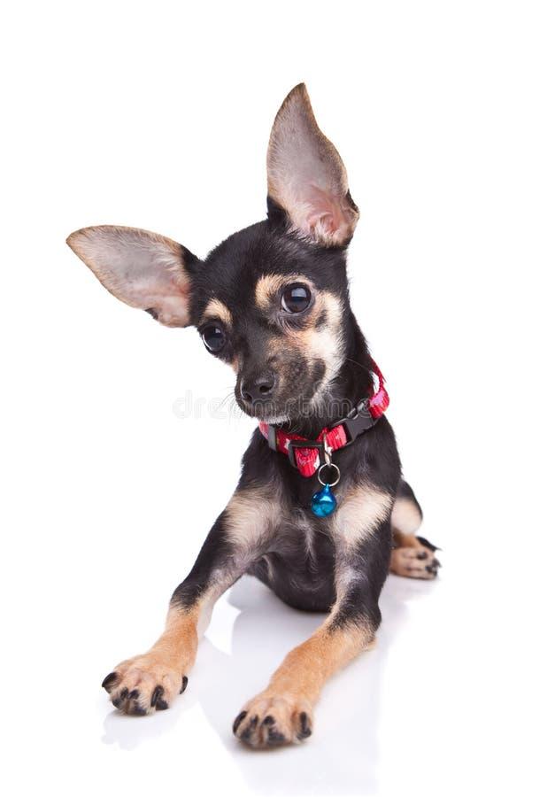 Cão de filhote de cachorro bonito que encontra-se no branco foto de stock