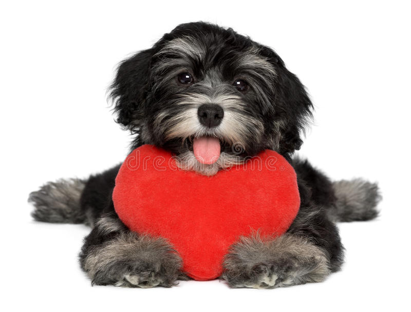 Cão de filhote de cachorro de Havanese do Valentim do amante com um coração vermelho fotografia de stock royalty free