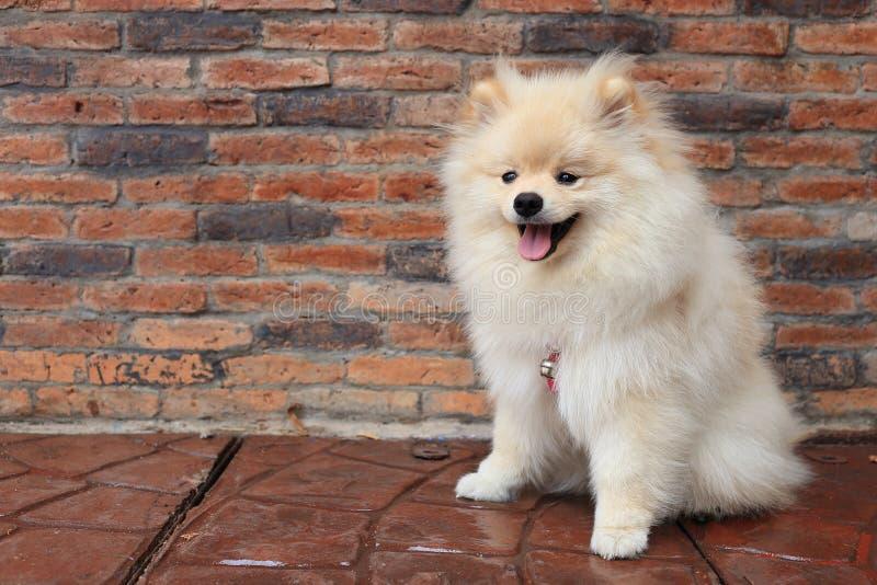 Cão de filhote de cachorro de Pomeranian imagem de stock