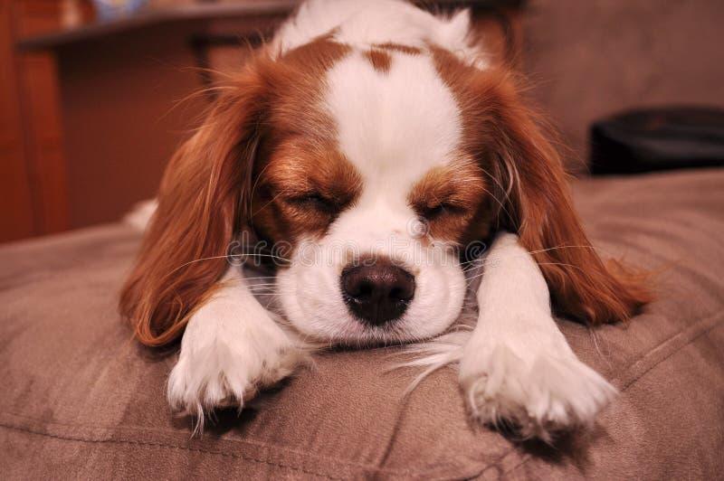 Cão de filhote de cachorro descuidado do sono foto de stock