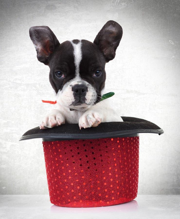 Cão de filhote de cachorro do buldogue francês em um chapéu vermelho da mostra foto de stock