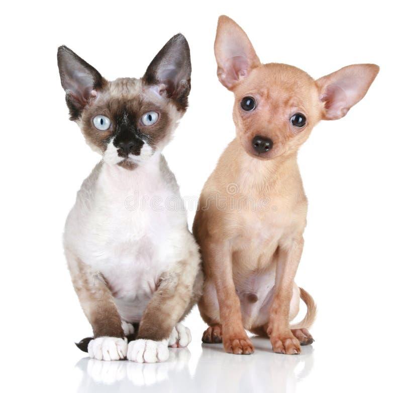 Cão de filhote de cachorro e de rex de Devon gato em um fundo branco imagens de stock