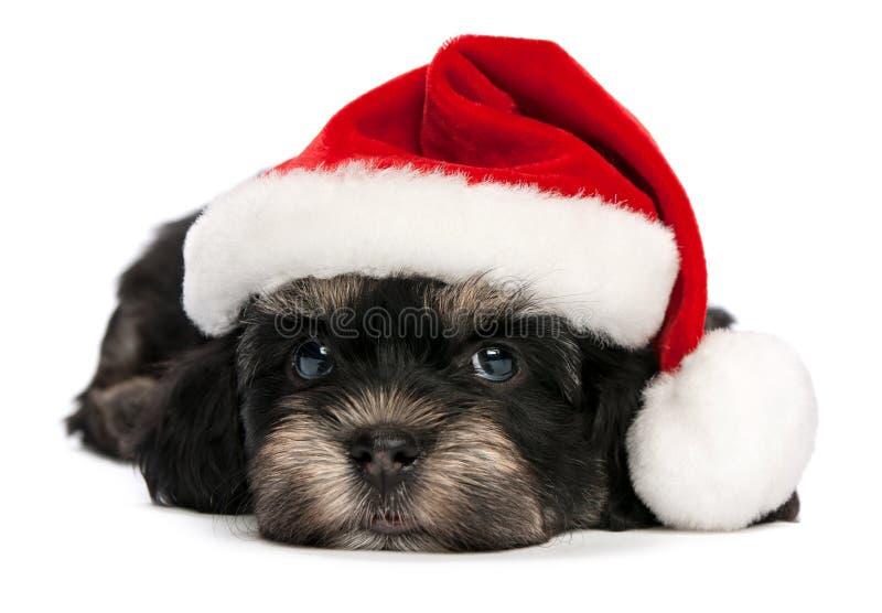 Cão de filhote de cachorro havanese do Natal bonito foto de stock royalty free