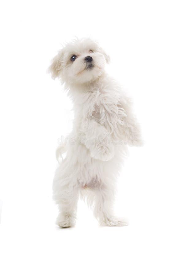 Cão de filhote de cachorro maltês fotografia de stock royalty free