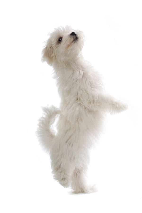 Cão de filhote de cachorro maltês fotos de stock royalty free