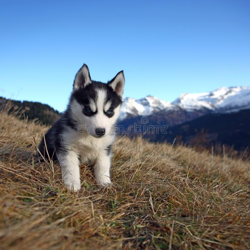 Cão de filhote de cachorro na frente de um cenário da montanha foto de stock royalty free