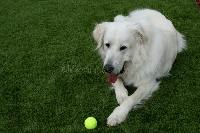 Cão de grandes Pyrenees com bola de tênis fotografia de stock royalty free