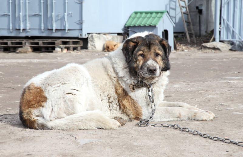 Cão de guarda caucasiano do pastor. Tiro ao ar livre imagem de stock