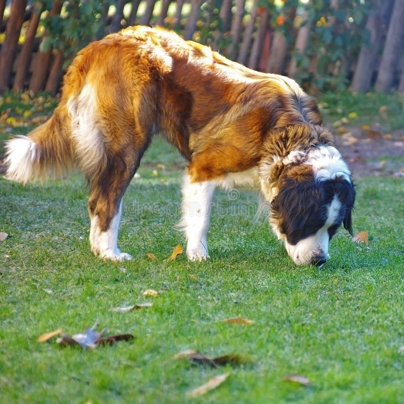Cão de guarda de Moscou imagem de stock