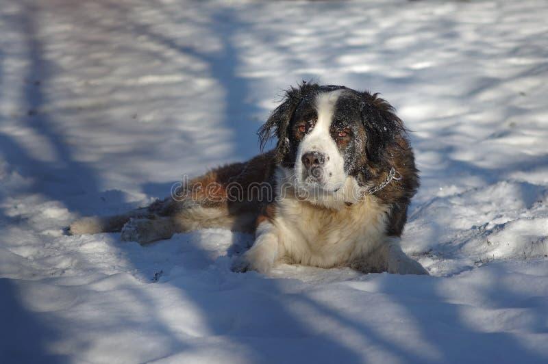 Cão de guarda de Moscou fotografia de stock