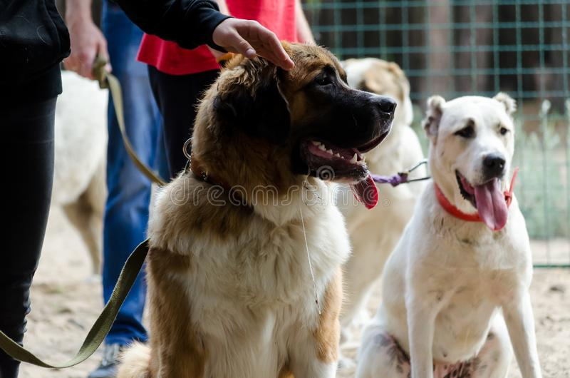 Cão de guarda de Moscou e pastor asiático central na sala de aula com um alimentador de cão Esperando sua volta fotografia de stock royalty free