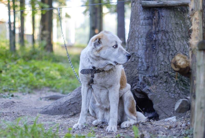 Cão de guarda nas montanhas 2 fotografia de stock royalty free