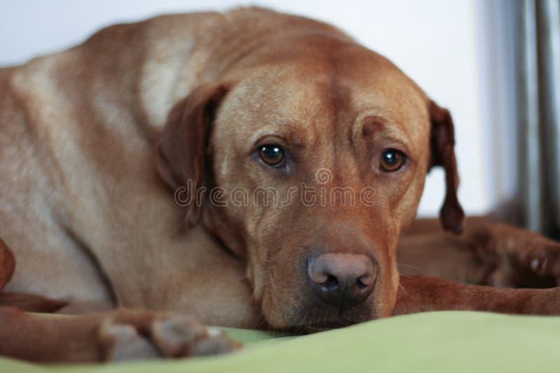 Cão de cão húngaro fotografia de stock royalty free