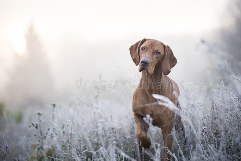 Cão de cão húngaro no tempo de inverno freezy fotos de stock