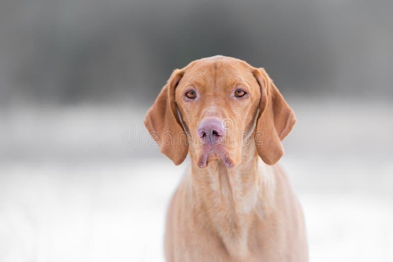 Cão de cão húngaro no tempo de inverno freezy fotografia de stock