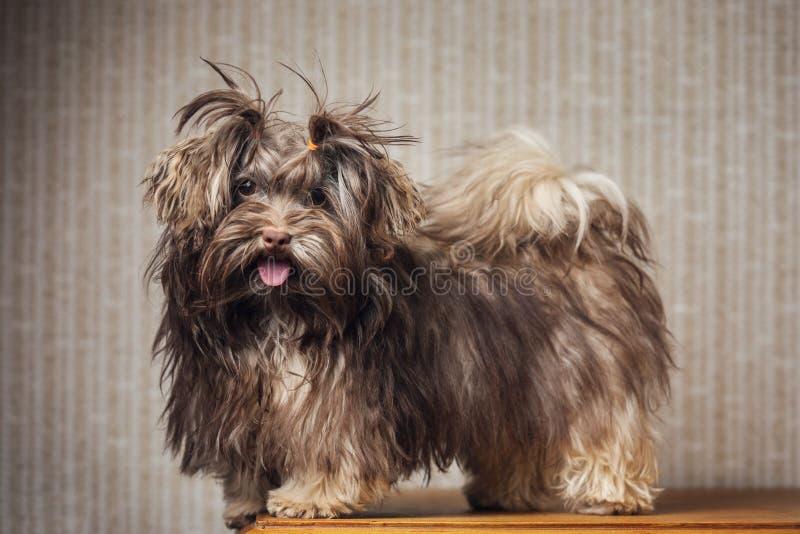 Cão de Havanese em casa Cachorrinho pequeno bonito fotografia de stock