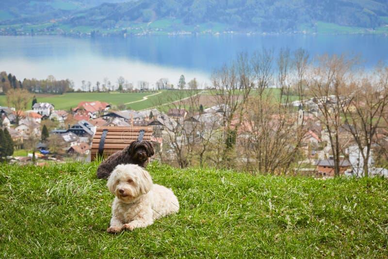 Cão de Havanese que encontra-se na grama na frente do lago Attersee imagem de stock royalty free