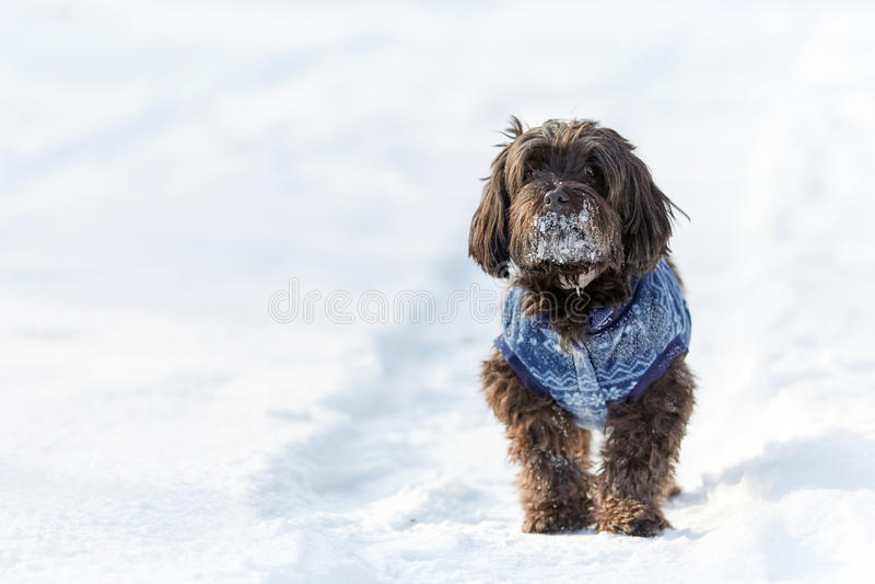 Cão de Havanese que espera e que olha na neve imagem de stock royalty free