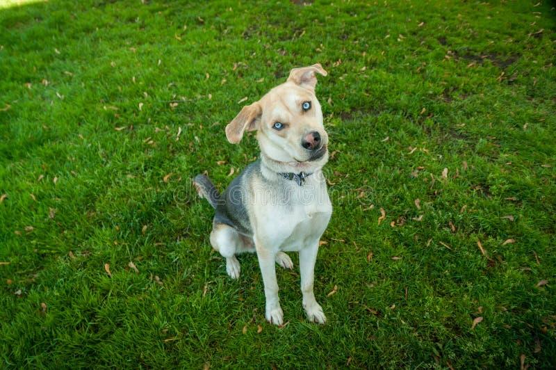Cão de Husky Labrador Mutt Mixed Breed com olhos azuis imagens de stock