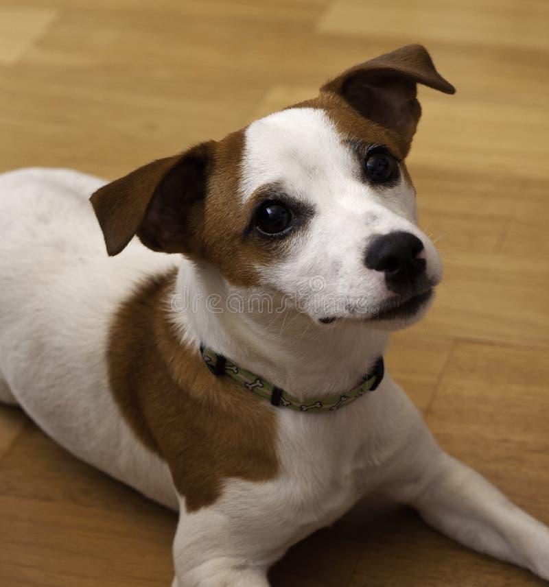 Cão de Jack Russel fotografia de stock