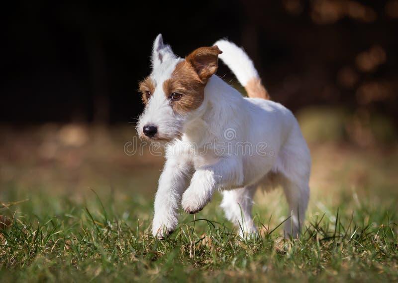 Cão de Jack Russell Terrier do puro-sangue fotografia de stock royalty free