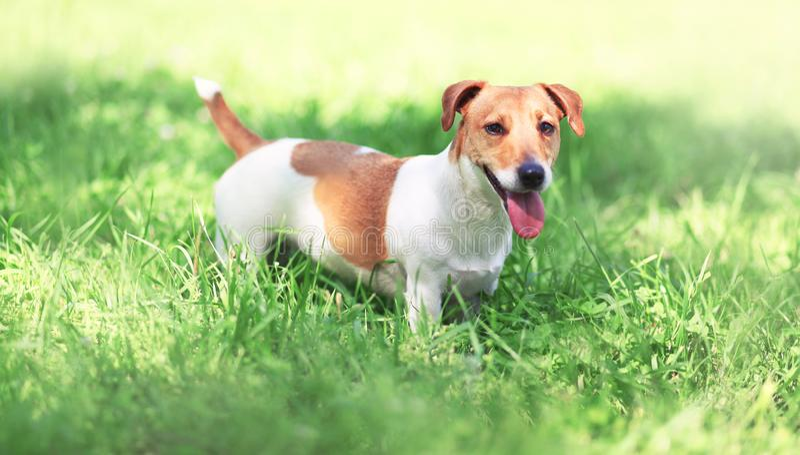 Cão de Jack Russell Terrier na grama da mola foto de stock