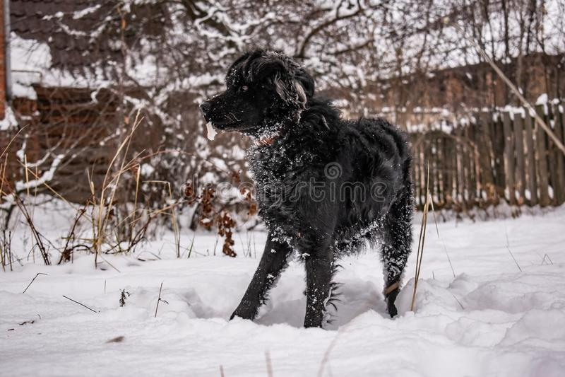 Cão de jarda preto, com cabelo desgrenhado, perdigueiro inverno, tempo gelado e muita neve branca fotografia de stock