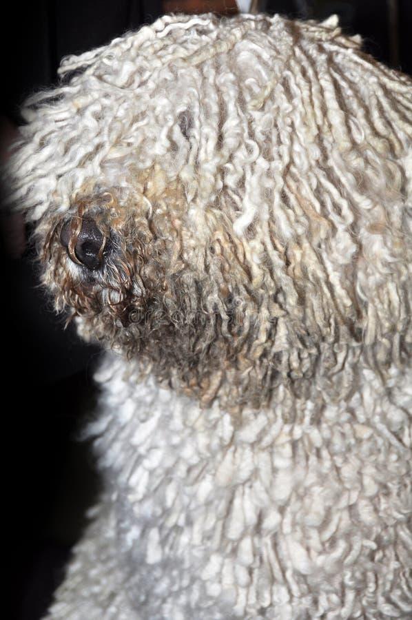 Cão de Komondor foto de stock