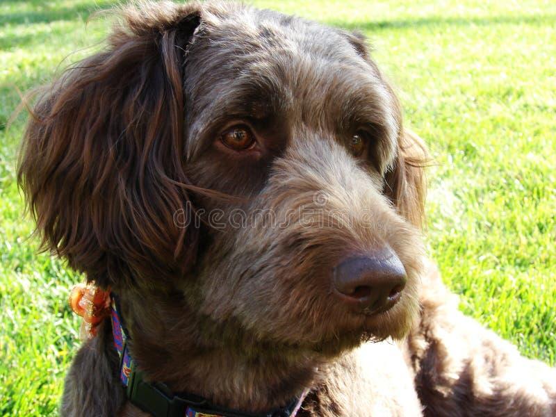 Cão de Labradoodle fotos de stock