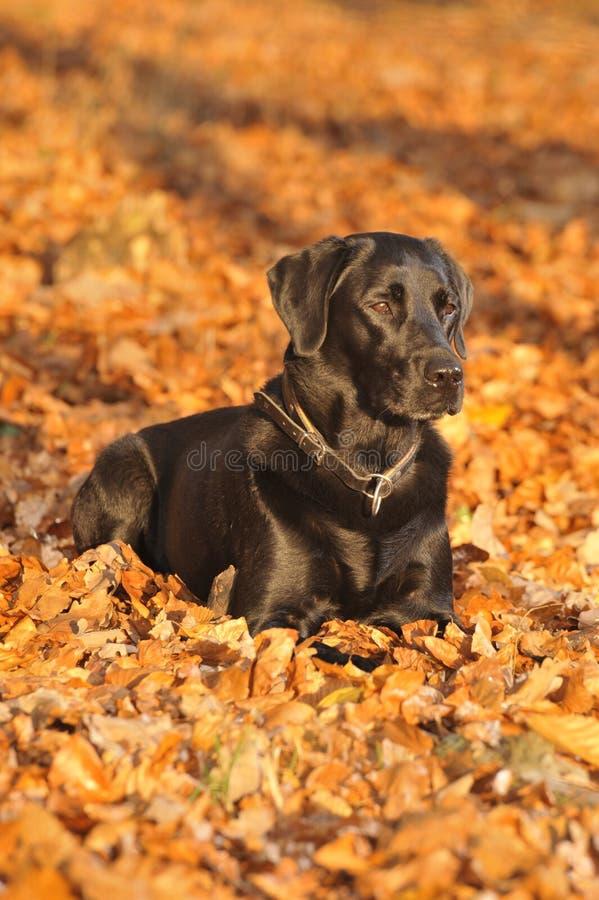 Cão de Labrador fotos de stock royalty free