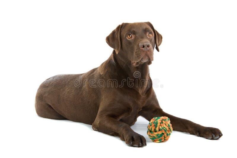 Cão de Labrador do chocolate   foto de stock royalty free