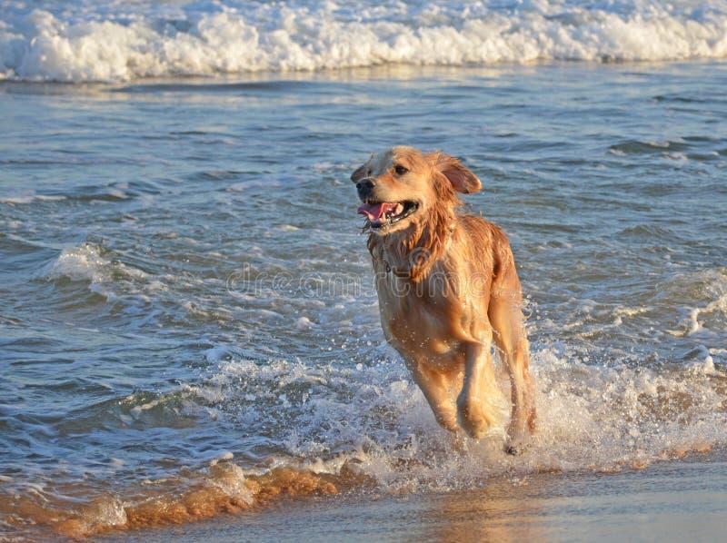 Cão de Labrador que corre na praia foto de stock royalty free