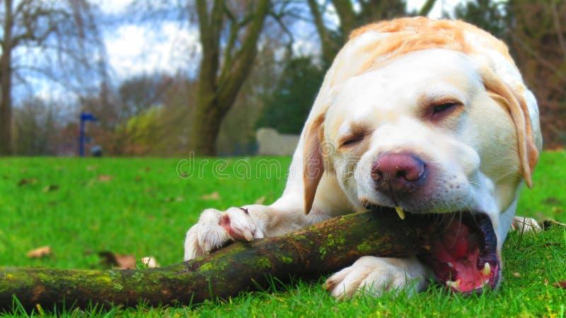 Cão de Labrador que mastiga no ramo imagem de stock