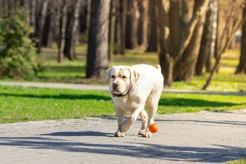 Cão de labrador retriever com bola imagens de stock royalty free