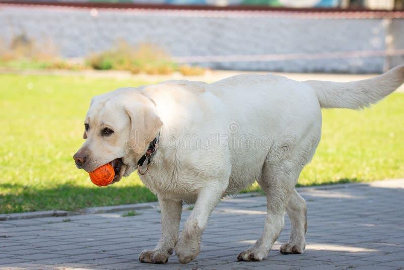 Cão de labrador retriever com bola imagens de stock