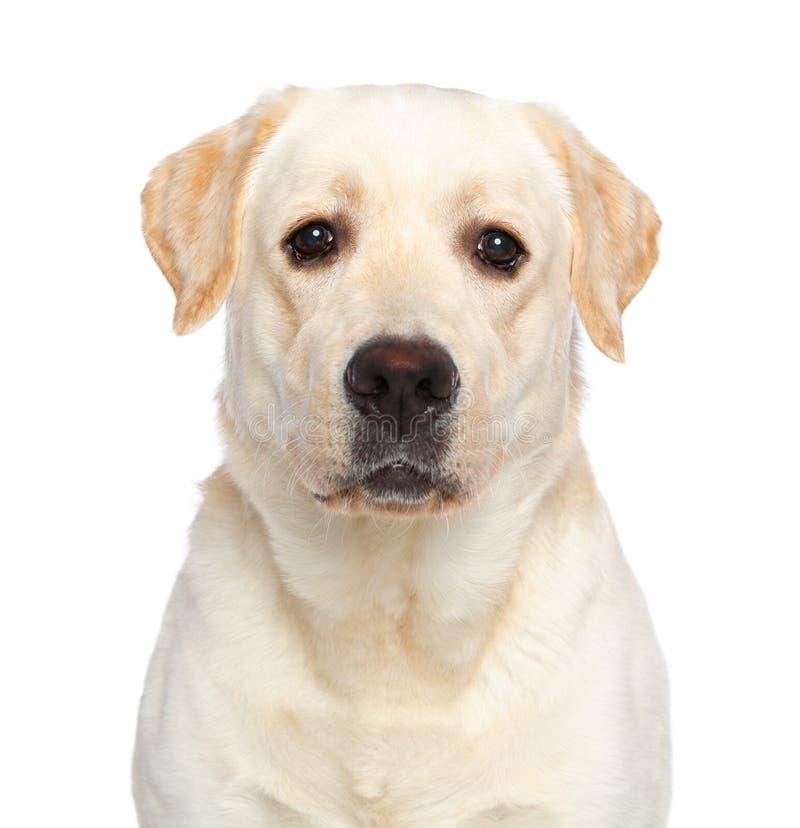 Cão de labrador retriever no fundo branco isolado imagens de stock royalty free