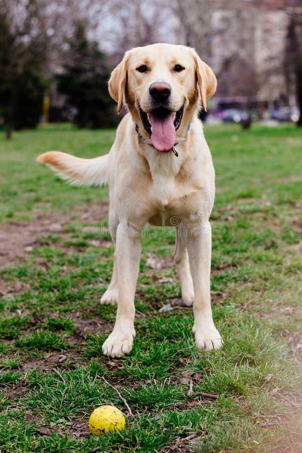 Cão de labrador retriever no parque com sua bola fotos de stock royalty free