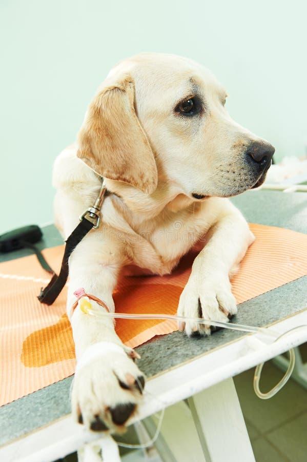 Cão de Ladrador sob a vacinação na clínica foto de stock royalty free