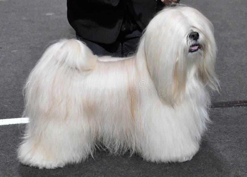 Cão de Lhasa Apso fotografia de stock