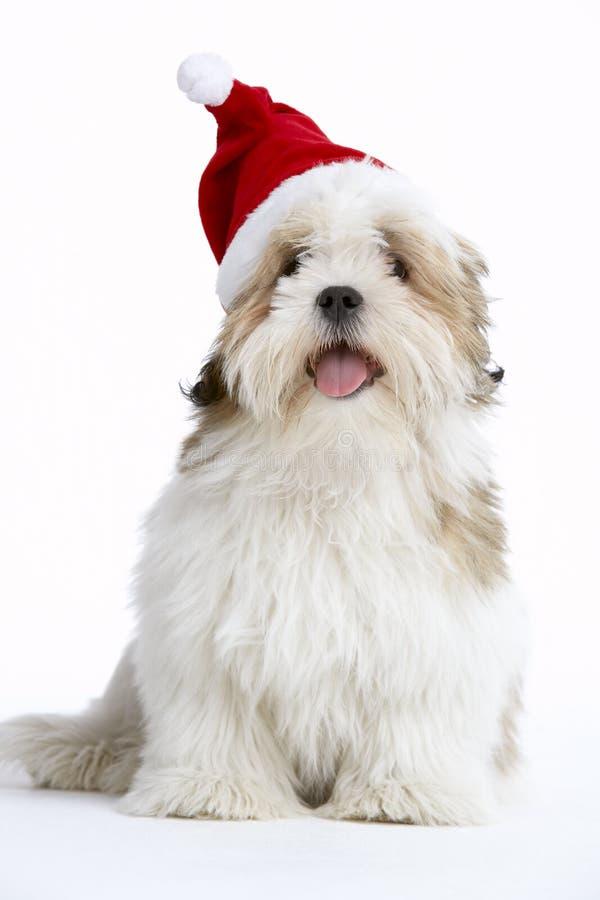 Cão de Lhasa Apso que desgasta o chapéu de Santa foto de stock