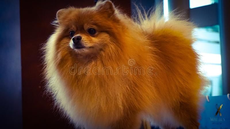 Cão de Manula imagem de stock royalty free
