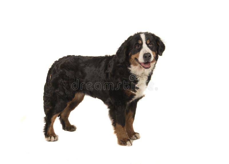 Cão de montanha bernese adulto ereto isolado em um backgrou branco fotos de stock