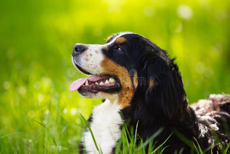 Cão de montanha de Bernese do focinho que olha o lado foto de stock royalty free