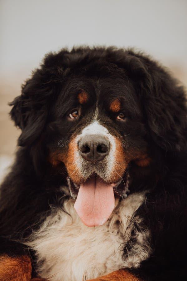 Cão de montanha bernese do retrato língua bonito do sorriso imagens de stock