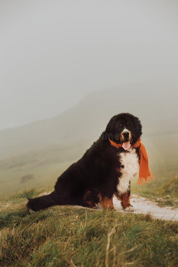 Cão de montanha de Bernese do retrato na montanha com lenço vermelho língua bonito do sorriso foto de stock royalty free